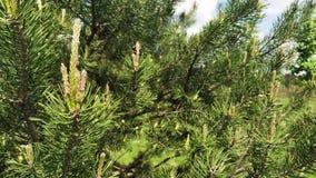 En filial av sörjer med unga kottar som svänger i vinden vintergr?n tree lager videofilmer