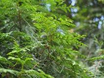 En filial av thuyaträdet Arkivfoto