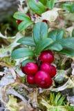 En filial av tranbär Royaltyfri Fotografi