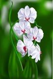 En filial av vita orkidér. Arkivbild