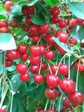 En filial för körsbärsrött träd royaltyfria foton