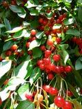En filial för körsbärsrött träd i ljuset av solen arkivfoton