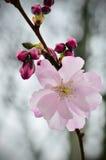 En filial med en delikat gräns - rosa färger blommar Royaltyfri Foto