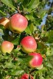 En filial med stora mogna äpplen som tänds av solen Royaltyfri Bild