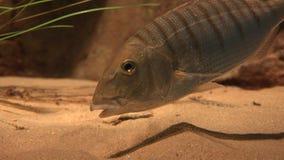 En fisk som äter sand stock video