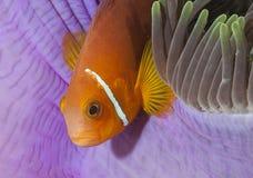 En fisk som jag inte vet i Maldiverna, tog jag det undervattens- fotoet och livlighetblickarna utmärkt Arkivfoto