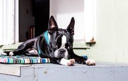 En fixant sur le perron, fermez-vous vers le haut d'un jeune terrier de Boston regardant l'appareil-photo photo stock