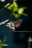 En fjäril Arkivfoton