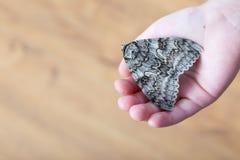 En fjäril av silkmoth i ett barns händer - dispar Lymantria arkivbilder