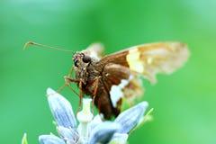 En fjäril balanserar försiktigt på en blomma i vinden arkivbild