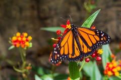 En fjäril för manlig monark royaltyfria foton