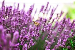 En fjäril mellan lavendelblommor royaltyfria bilder