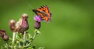 En fjäril och den skotska tisteln Fotografering för Bildbyråer