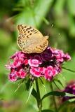 En fjäril på blomman Royaltyfri Fotografi