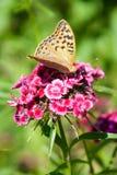 En fjäril på blomman Arkivbild