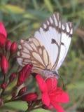 En fjäril på en blomma Arkivbilder