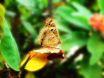 En fjäril på euphorbiabladet Arkivfoto