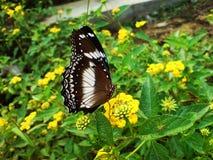 En fjäril på lantanaen Camara Flowers Arkivbild