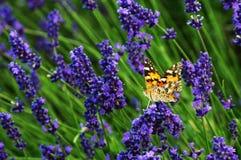 En fjäril på lavendelfält arkivbild