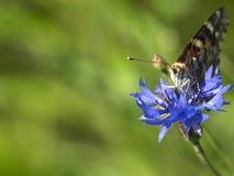 En fjäril sitter på en blåklintnärbild mot bakgrund field bl?a oklarheter f?r gr?n vitt wispy natursky f?r gr?s arkivbild