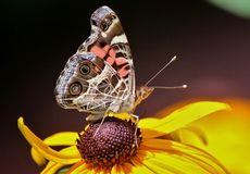 En fjäril som feading på en gul blomma Arkivbild