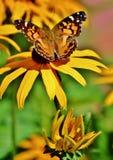 En fjäril som feading på en gul blomma Arkivbilder
