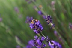 En fjäril som fokuseras på lavendelsammanträde royaltyfri bild