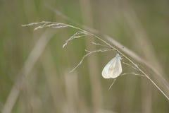 En fjäril som har vikit dess vingar, sitter på ett torrt blad av gras Royaltyfri Foto