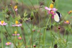 En fjäril som suger blommapollen royaltyfri foto