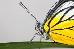 En fjäril som vilar på den gröna leafen Arkivbild