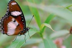En fjäril (stora Eggfly) står på ett blad royaltyfri bild