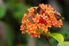 En fjärilsmal som pollenating få nektar från en av många sma Arkivfoton