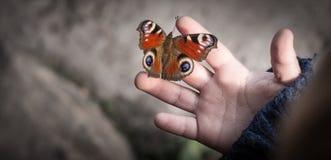 En fjärilspåfågel Royaltyfria Foton