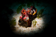 En flamboyant bläckfisk - Metasepia pfefferi Royaltyfri Foto