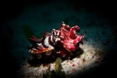 En flamboyant bläckfisk - Metasepia pfefferi Royaltyfri Bild
