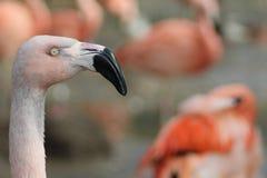 En flamingo royaltyfri bild