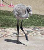 En flamingoChick Ventures Out From Its moder Fotografering för Bildbyråer