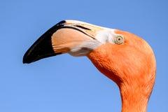 En flamingofågel Fotografering för Bildbyråer