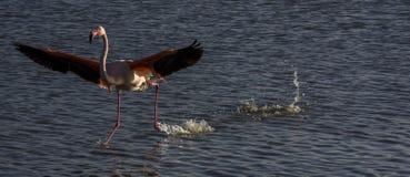 En flamingolandning i Camarguen, Frankrike Arkivfoton