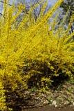 En fleur, forsythia fabuleux Développez-vous admirablement image libre de droits