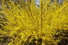 En fleur, forsythia fabuleux Développez-vous admirablement photo stock