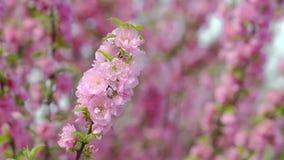 En fleurissant au printemps, dentelez les fleurs sur les branches des arbres banque de vidéos