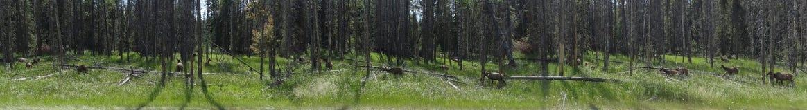 En flock av älgen som betar i skogen arkivfoto