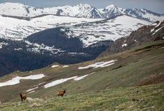 En flock av älgen som betar på en alpin äng på Rocky Mountain National Park i Colorado arkivbilder