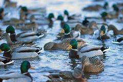 En flock av änder som svävar i dammet arkivfoton