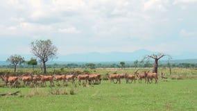 En flock av afrikanska antilop och sebror går den afrikanska savannahen arkivfilmer