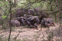 En flock av afrikanska bufflar royaltyfria bilder