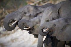 En flock av afrikanska elefanter Royaltyfri Fotografi