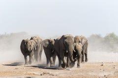 En flock av afrikanska elefanter att närma sig en waterhole i den Etosha nationalparken royaltyfri fotografi