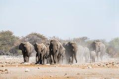En flock av afrikanska elefanter att närma sig en waterhole i den Etosha nationalparken arkivbild